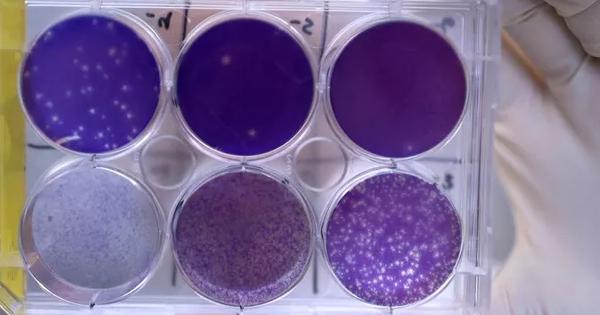 Em estudo, anticorpos protegem feto de roedor contra o vírus da zika