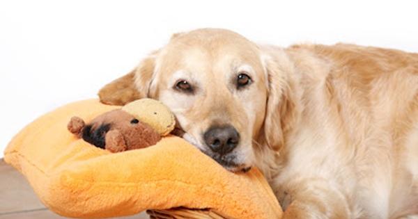 Pseudociese - Gravidez psicológica em cadelas