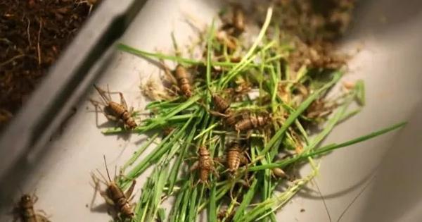 Grilos, larvas e escorpiões serão a comida do futuro?