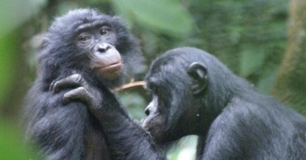 Macacos idosos precisam usar óculos para catar piolhos?