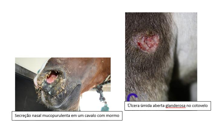 mormo zoonose em equinos medicina veterinária