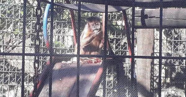Após suspeita de febre amarela, macacos do zoo de Piracicaba recebem proteção contra mosquito transmissor da doença